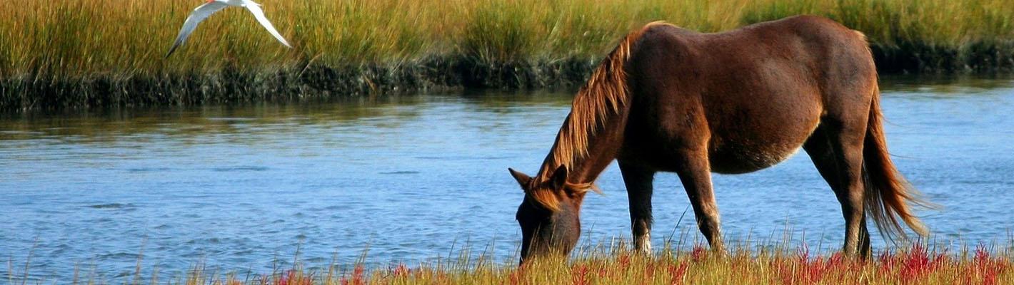 Häst vid vatten